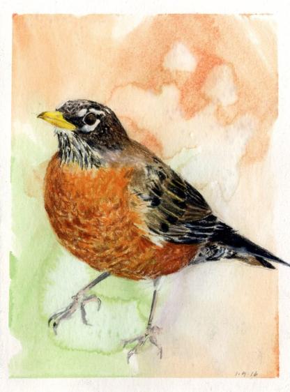 American Robin, January 4, 2016, from  Kingdom Animalia