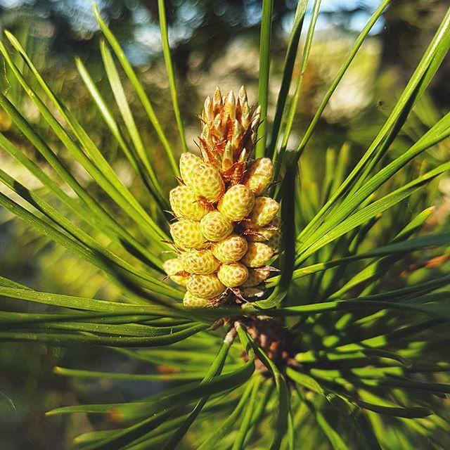 🍍🌿 . . . . . . . . . . . . . . #explorealberta, #natgeo, #wildernessculture, #alberta, #canada, #rockies, #explorebc, #thankyoucanada, #earth, #nature, #kananaakis, #banffnationalpark, #liveauthentic, #livefolk, #mountains, #explorecanada, #vsco, #vscocam, #afterlight, #discoverearth, #macro, #sunday, #wildflower, #beautifulbc, #summer, #ourplanetdaily, #wonderful_places, #nikon, #nofilter