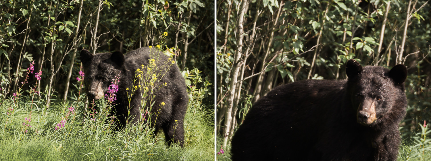 This enormous black bear was easily twice the size of the other half dozen we'd seen earlier in the drive. He was also unusually unafraid (the others retreated pretty quickly upon spotting us). He let us pull the car right up next to him as he munched on grass. Such an adrenaline rush!