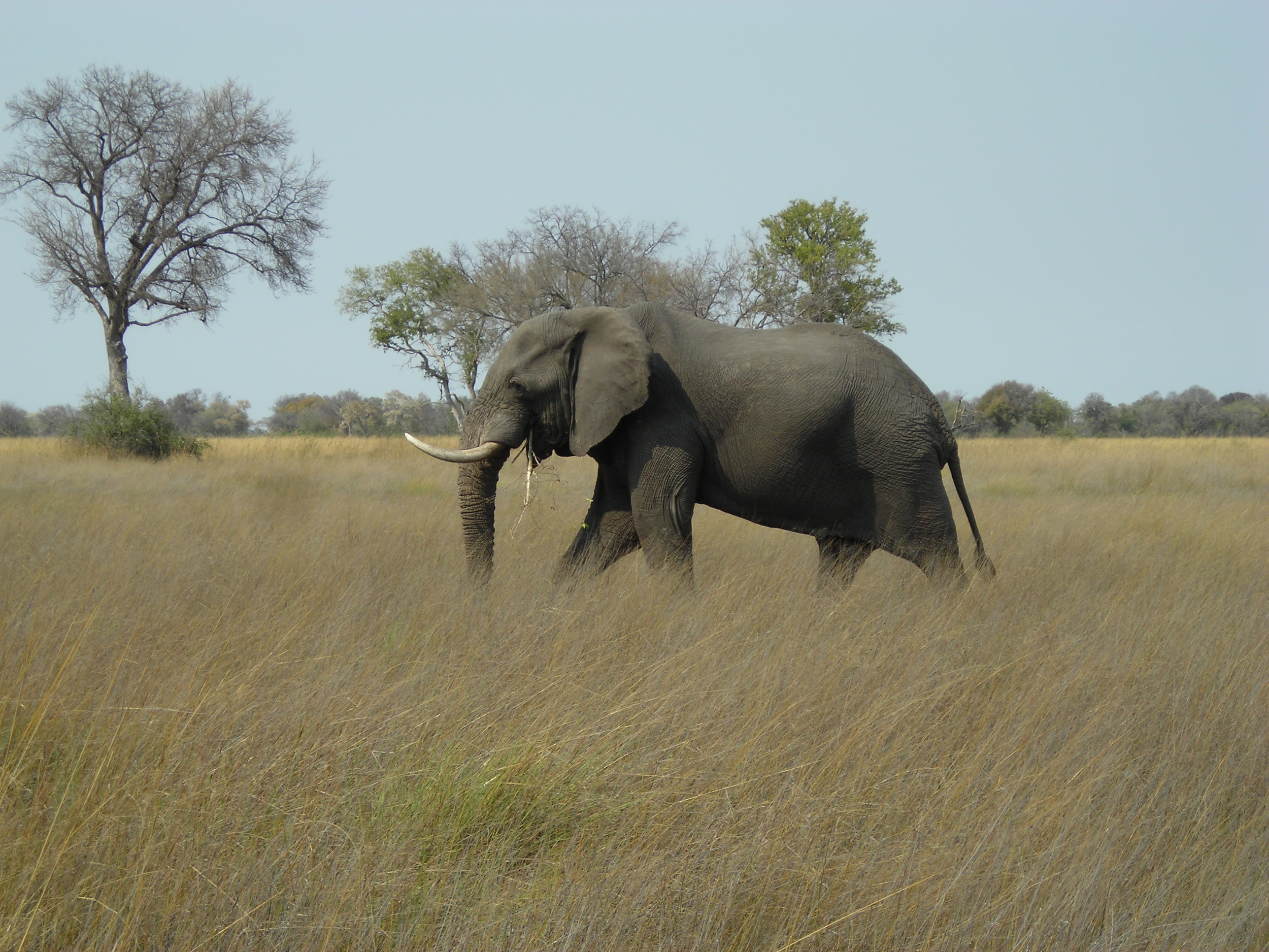 An elephant we encountered when travelling in Botswana