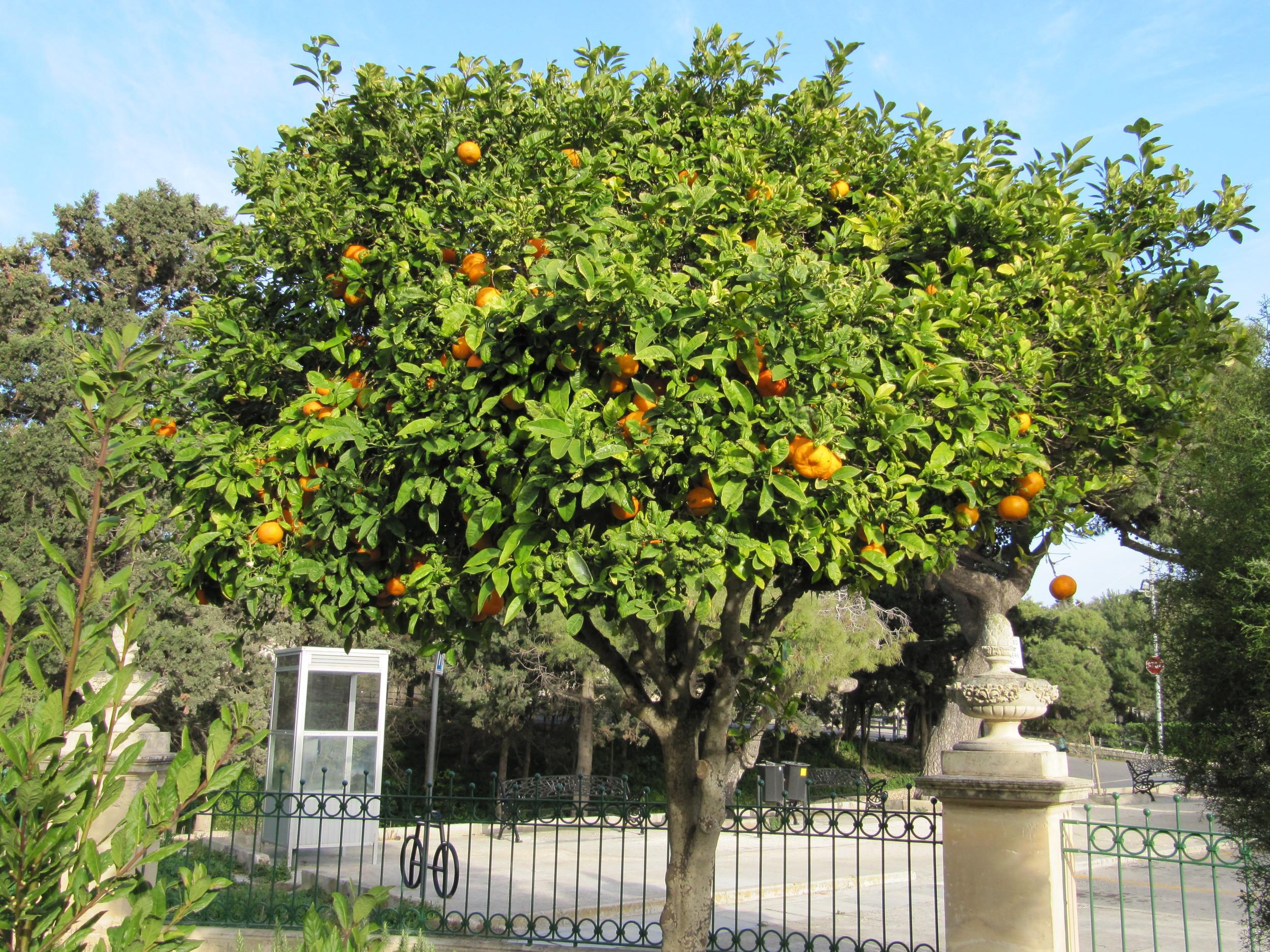 The orange tree outside the Roman Villa in Rabat, Malta
