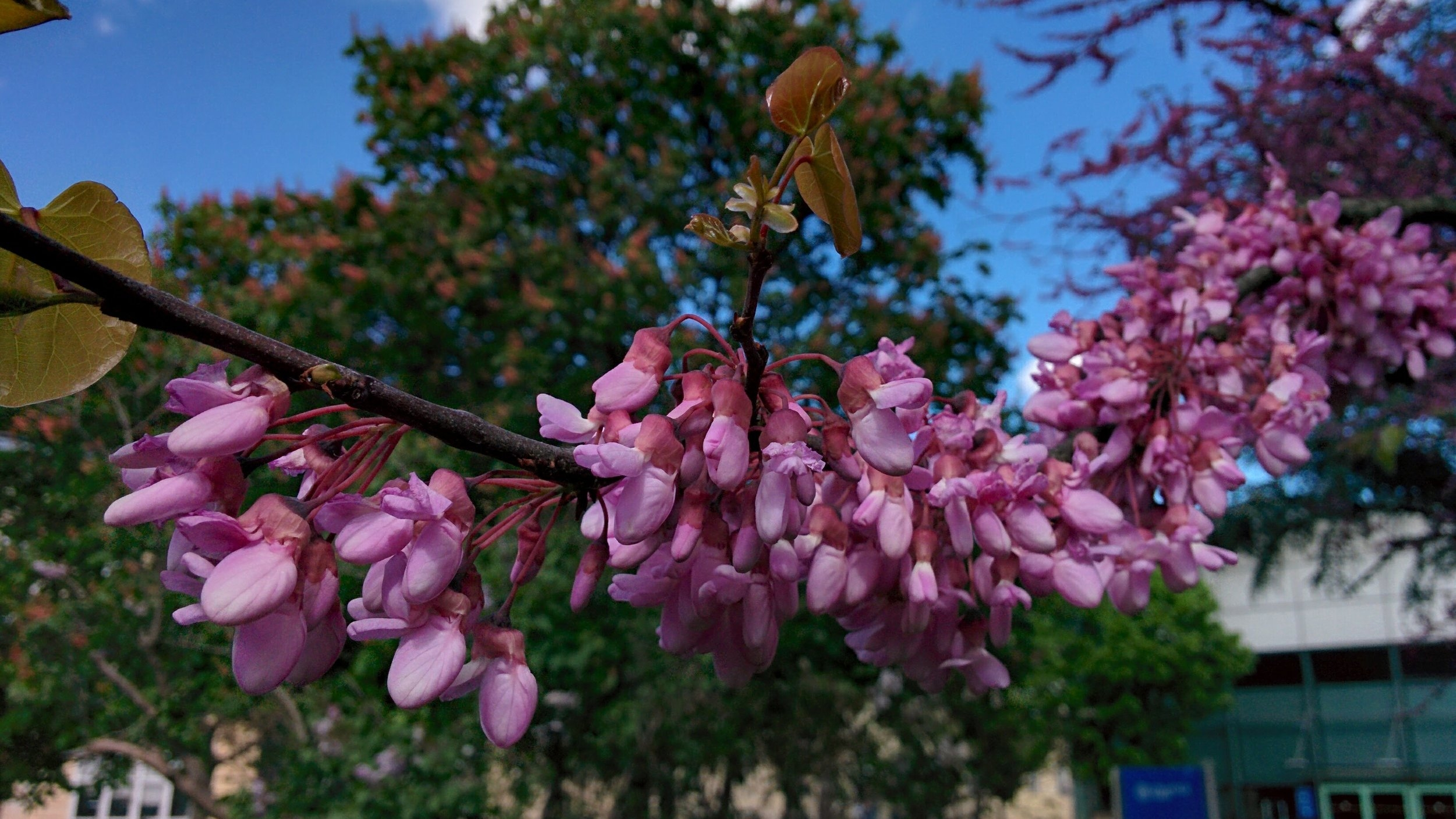 A close up of the Judas tree in the old general hospital in Vienna