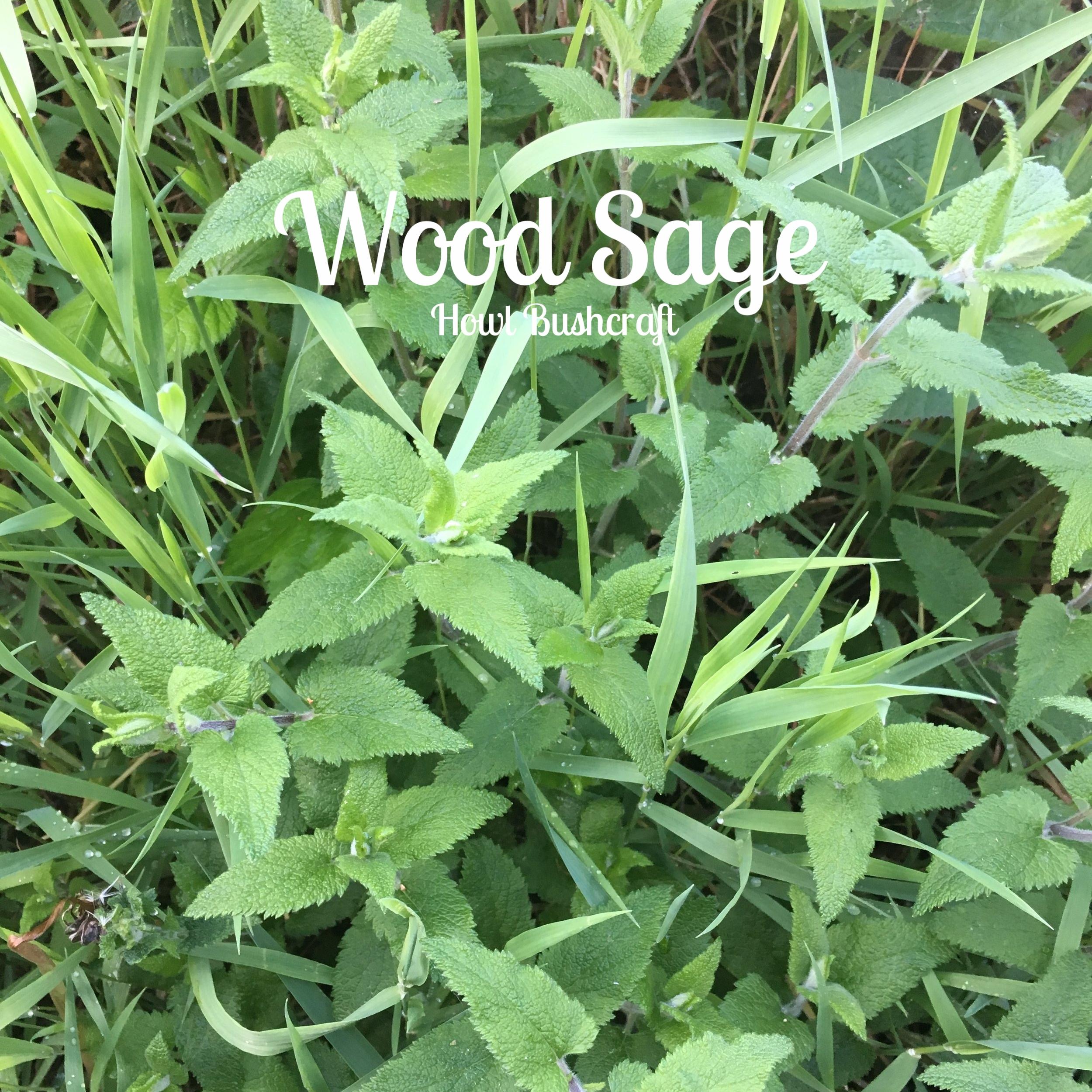 Wood Sage