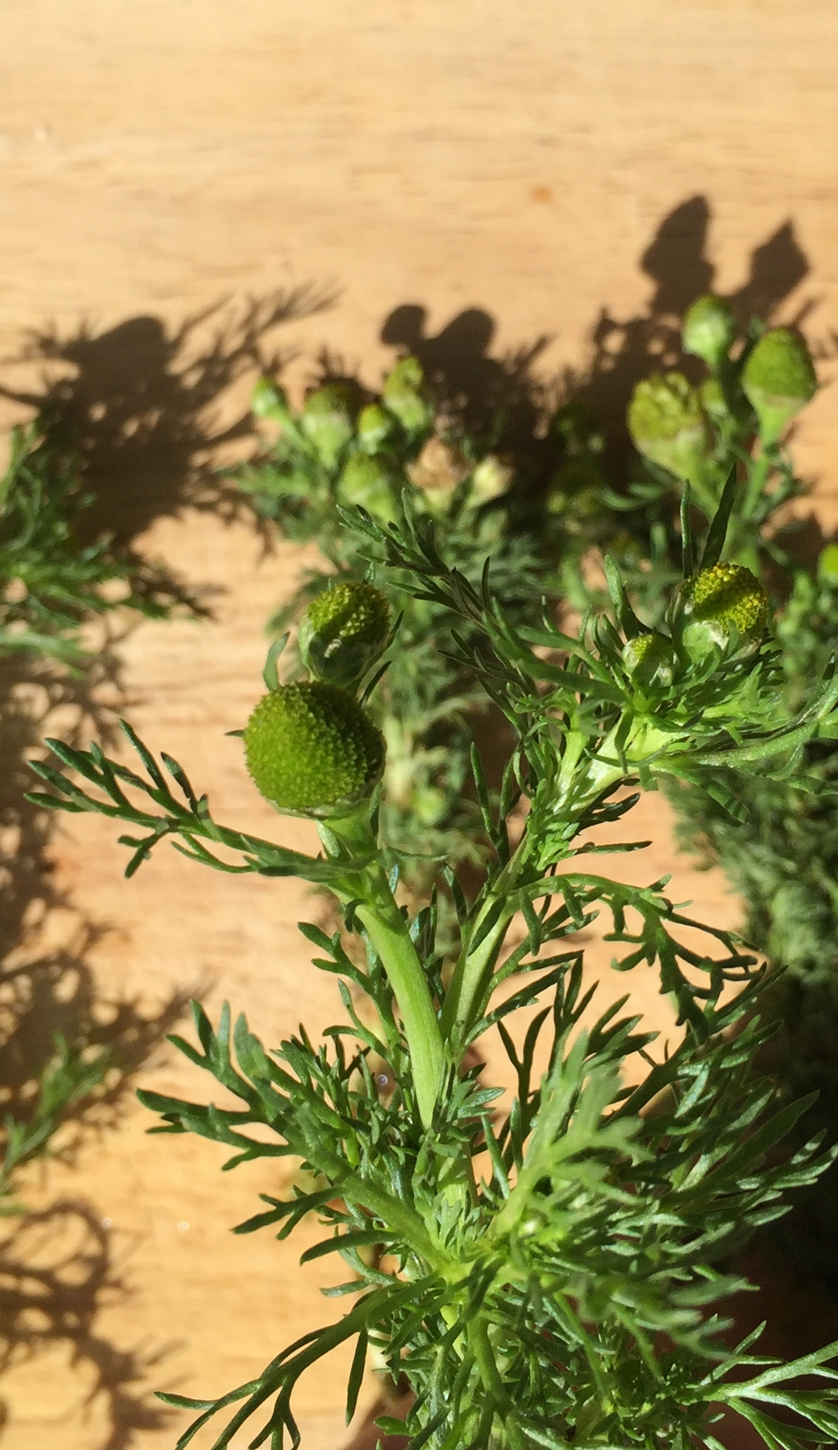 pineapple weed head