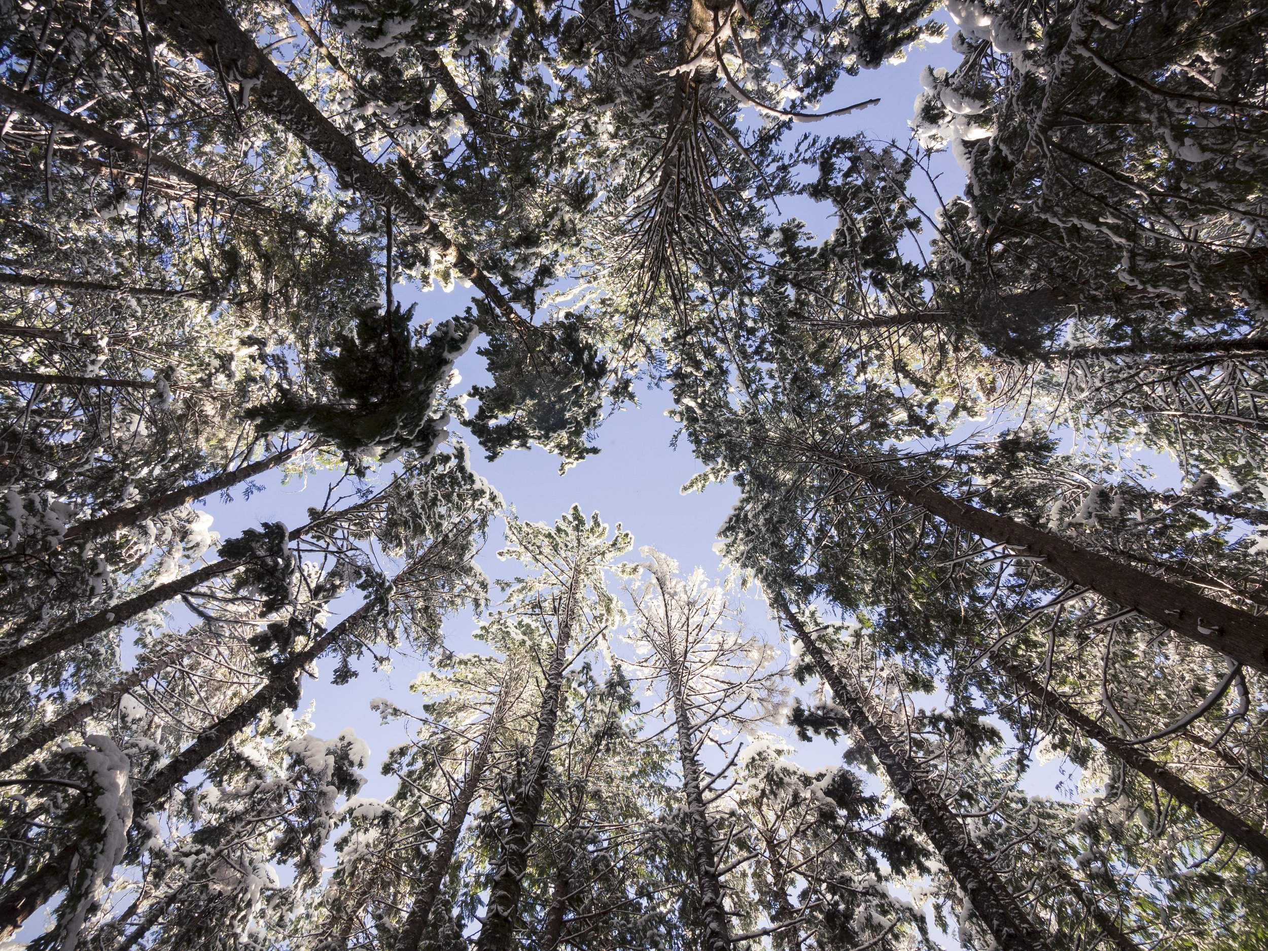 Looking Up to Blue Sky Framed by Snow Covered Forest Tree Tops