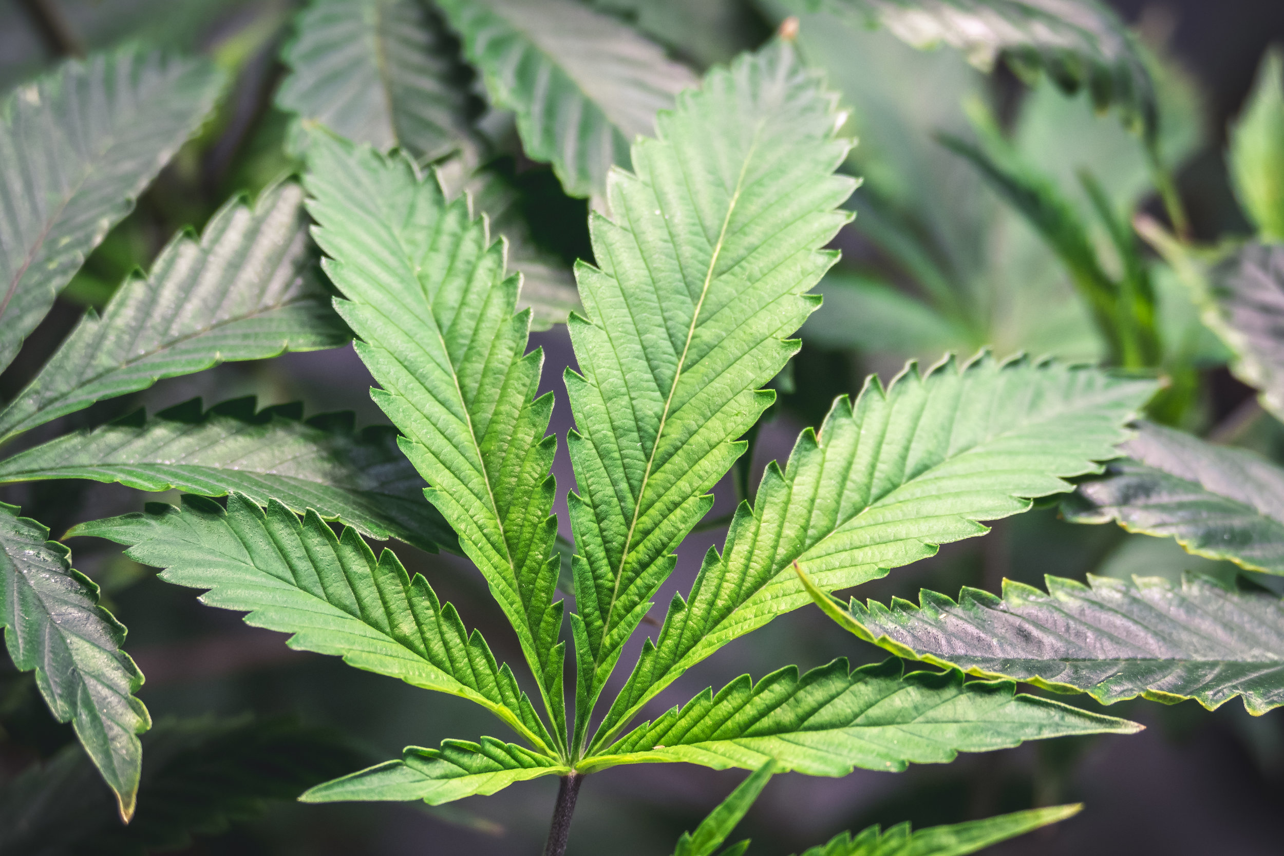 Bright_Green_Weed_Leaf_on_Colorful_Marijuana_Plant.jpg
