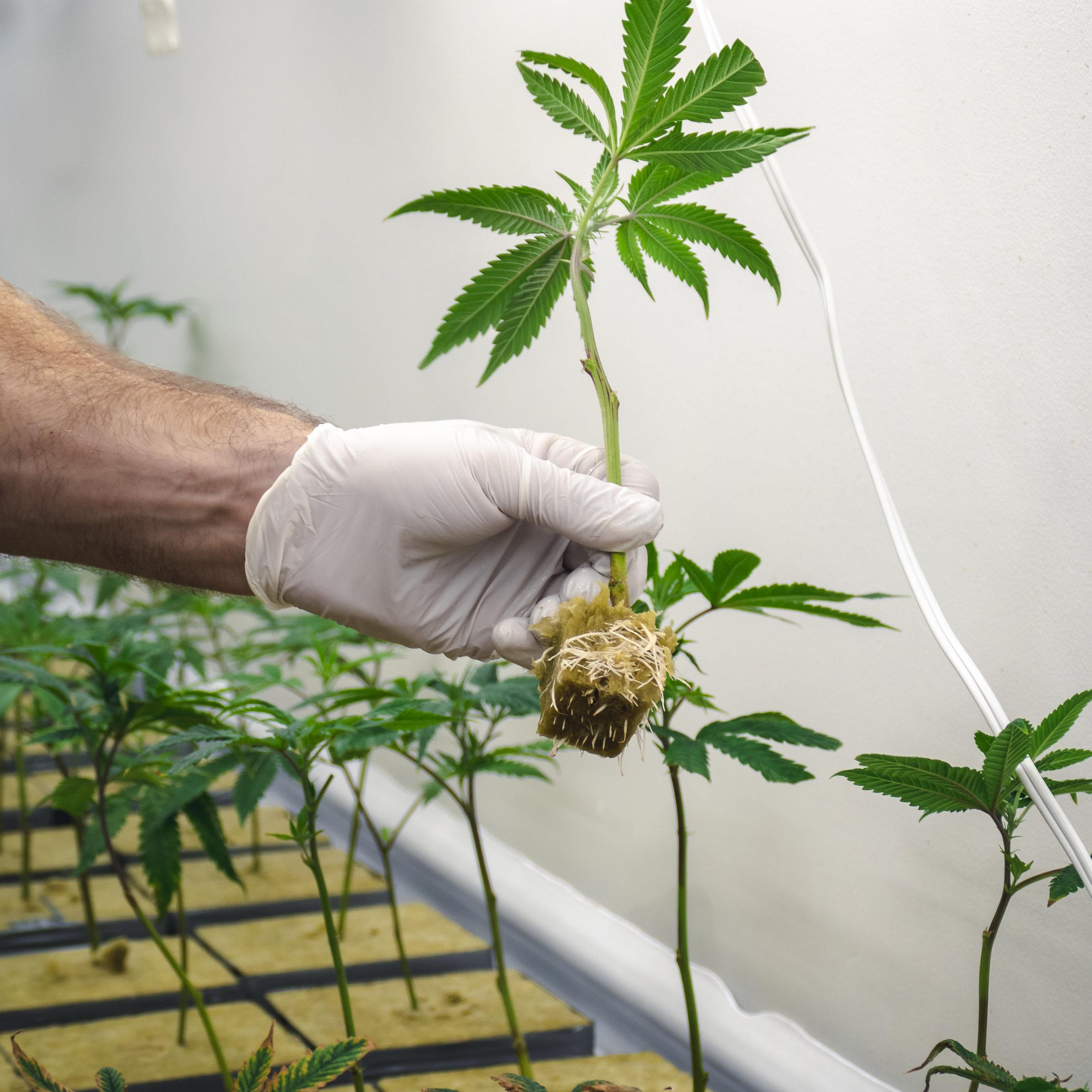 Cannabis_Cultivator_Planting_Baby_Marijuana_Plant_Displaying_Roots.jpg