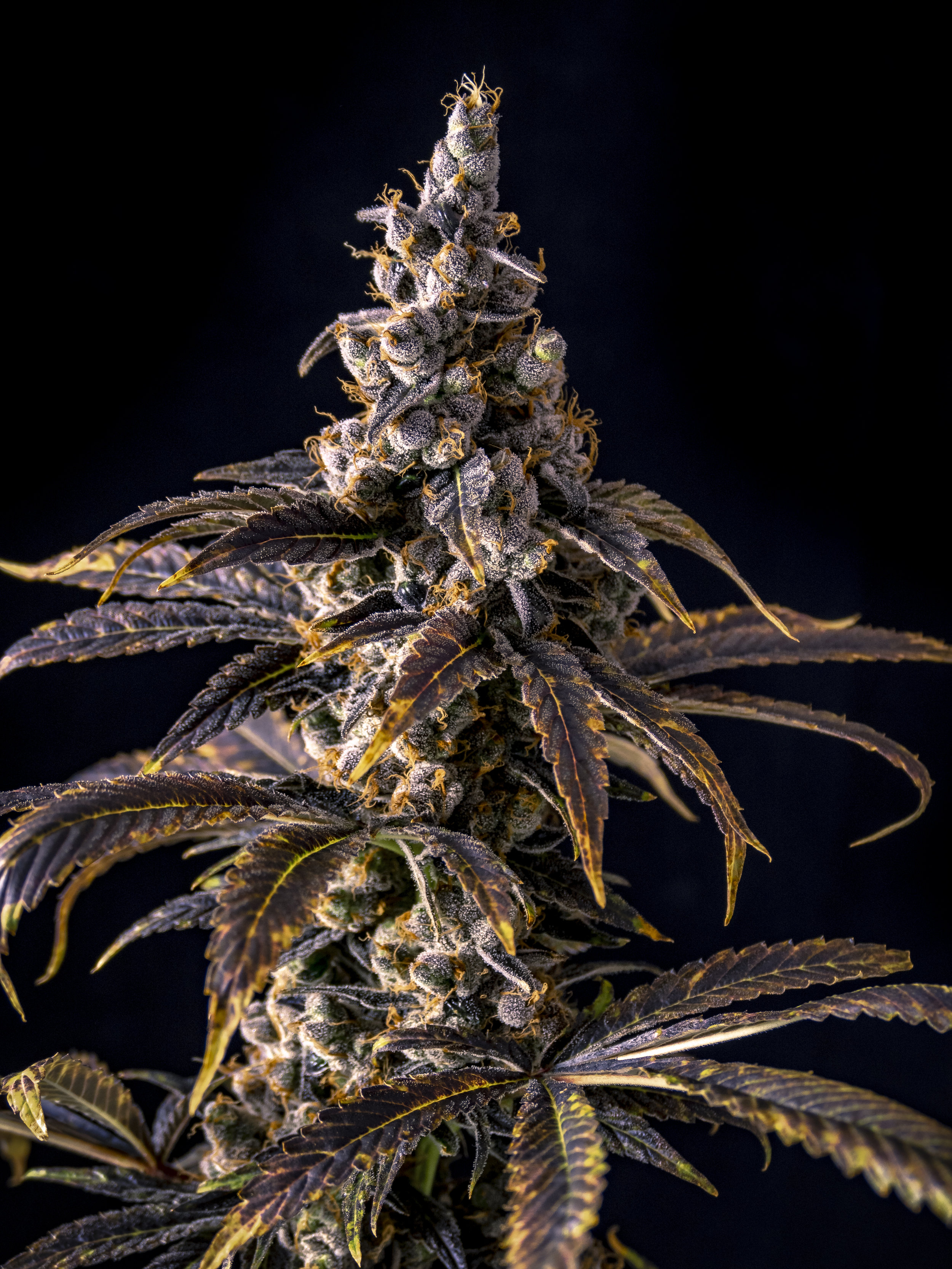 Cannabis_Plant_Isolated_by_Black_for_Treatment_or_Recreation.jpg
