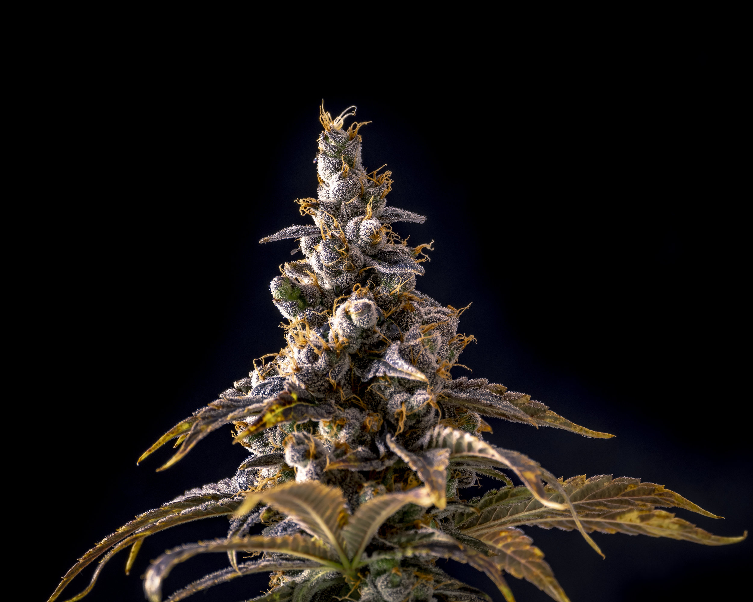 Top_of_Weed_Bud_Macro_Crystals_Isolated_by_Black_Background.jpg