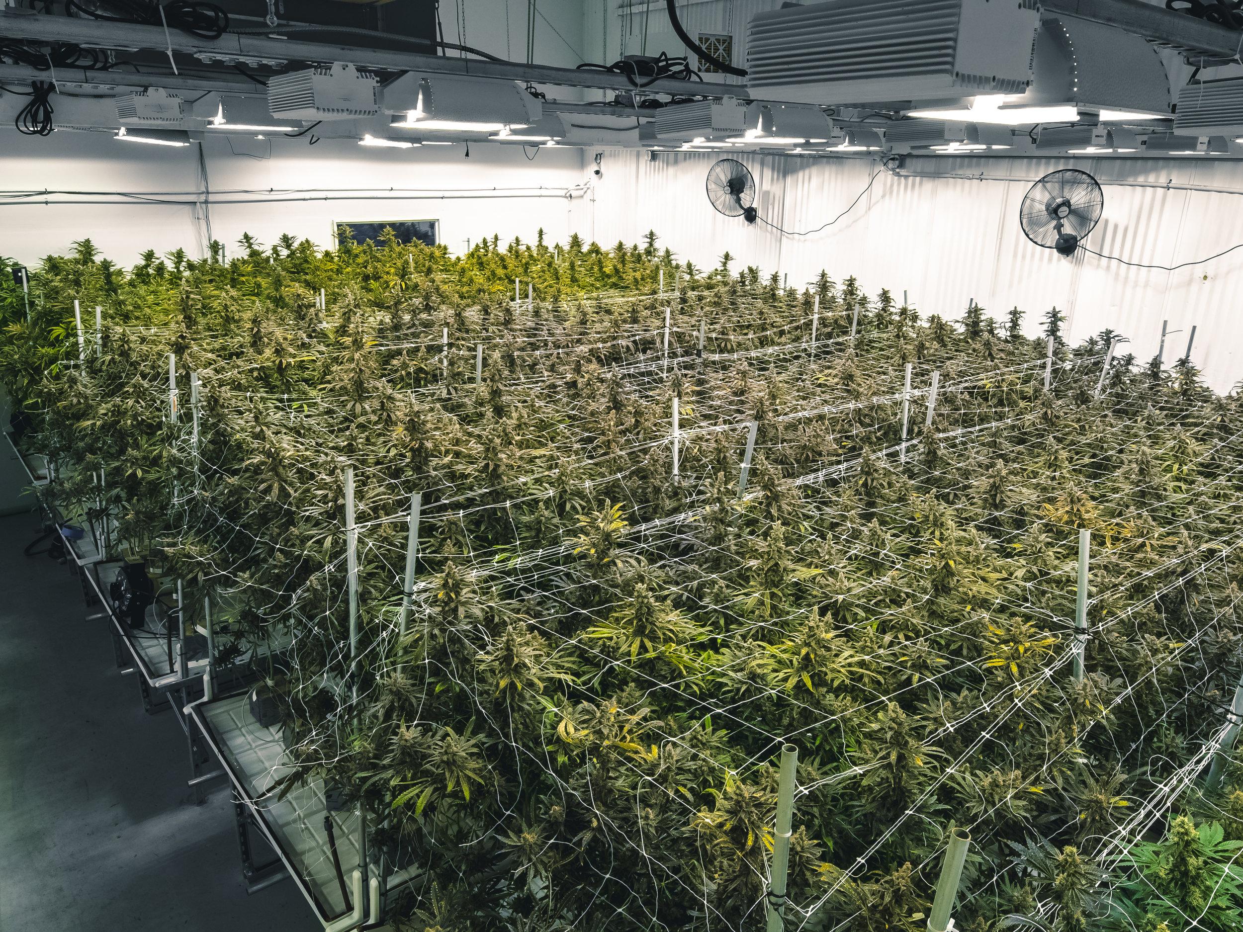 Indoor_Commercial_Growing_Operation_for_Recreational_Marijuana_Plants.jpg