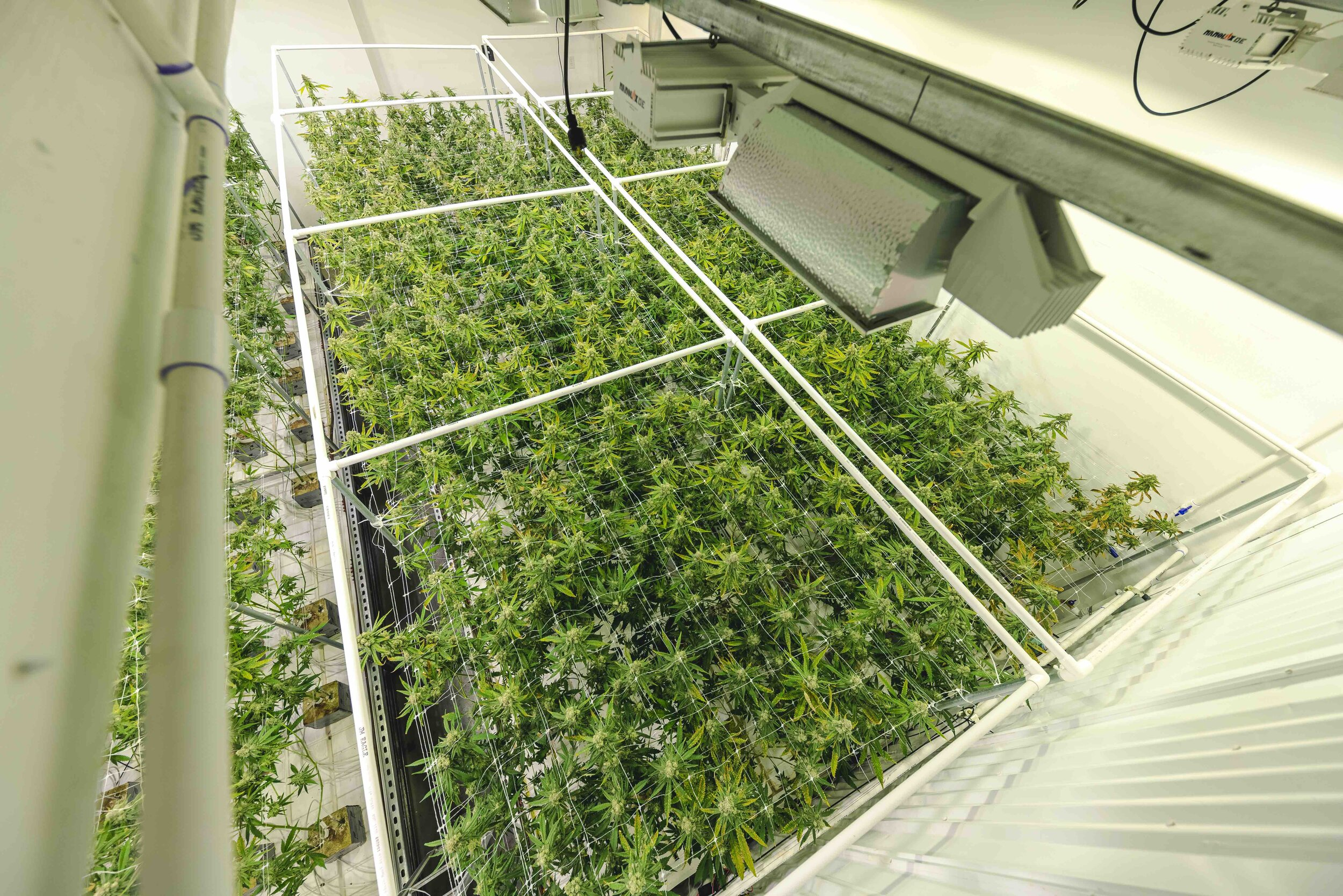 Abstract_Top_Angle_on_Weed_Plant_Canopy_Growing_at_Indoor_Farm.jpeg