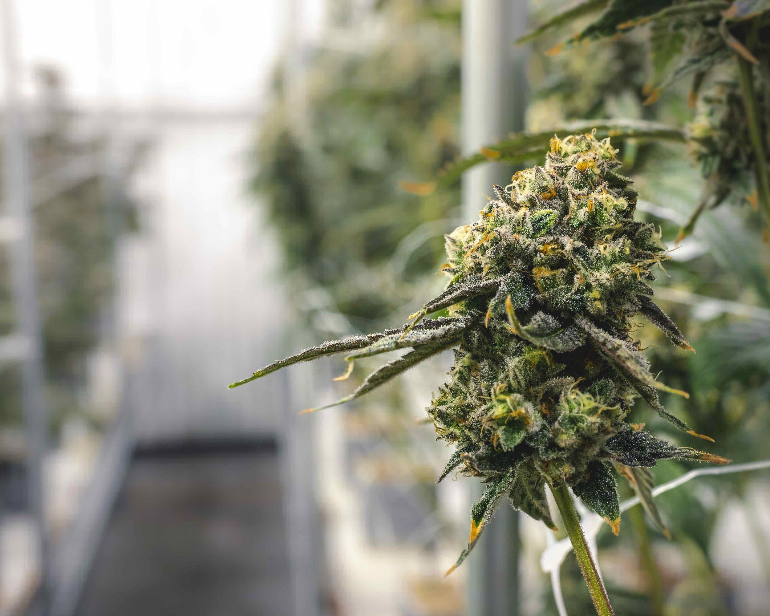 Macro_Marijuana_Bud_at_Cannabis_Industry_Farm_Growing_for_Legal_Dispensary_Sales.jpeg