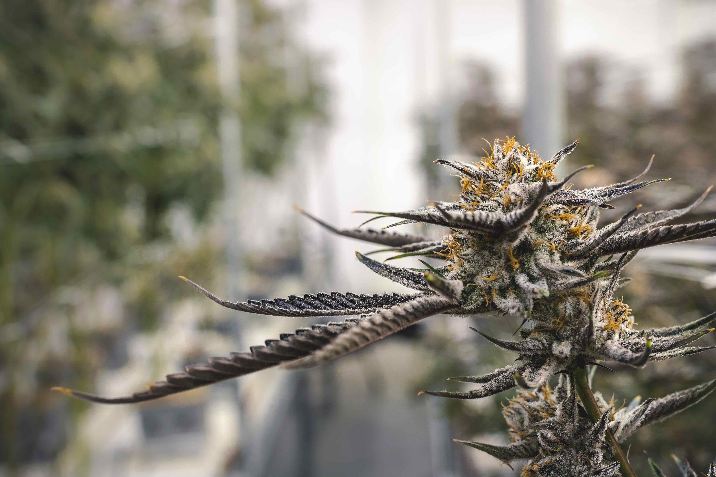 Orange_Hairs_on_Close_Up_Marijuana_Bud_at_Indoor_Commercial_Grow_Operation.jpeg