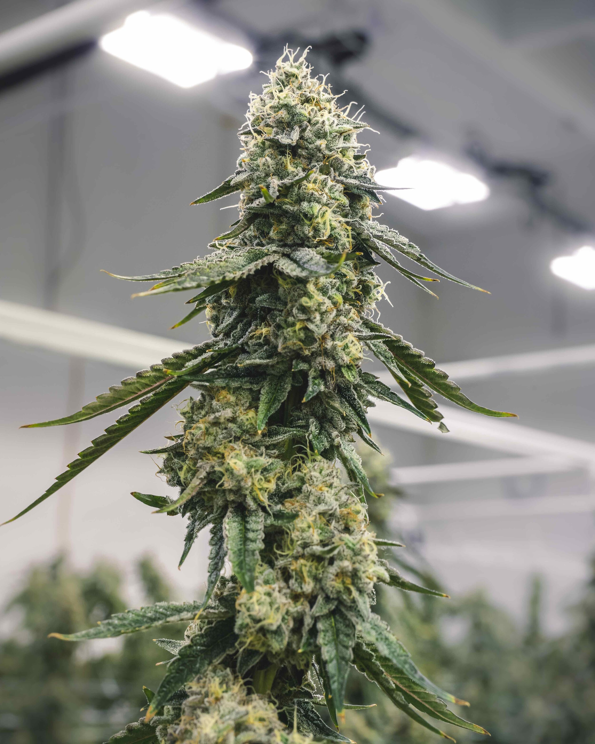 Tall_Marijuana_Bud_Growing_on_Plant_at_Indoor_Commercial_Garden_Facility.jpeg