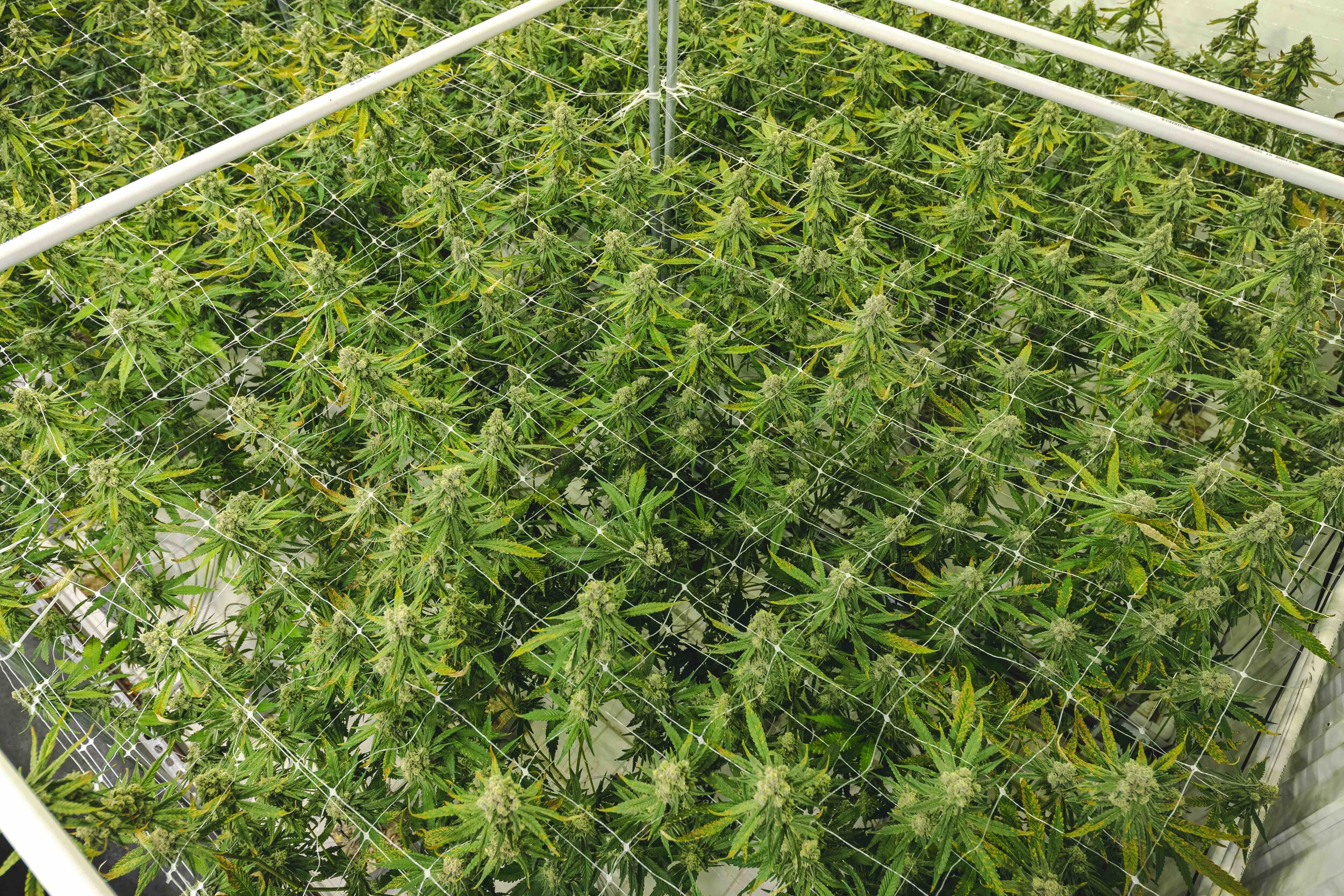 Texture_Background_of_Cannabis_Plant_Canopy_with_Vibrant_Green_Color.jpeg