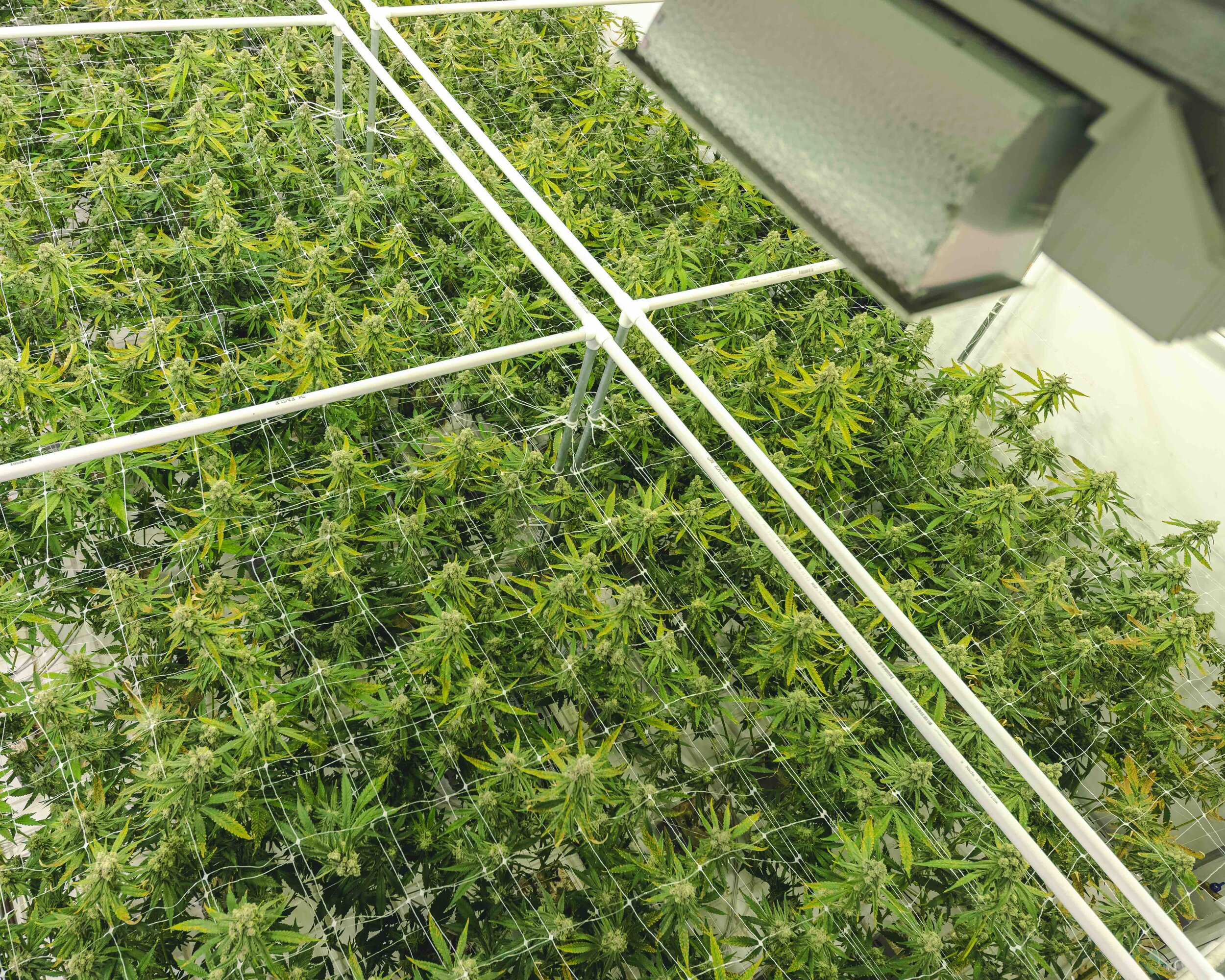 Top_View_of_Marijuana_Plant_Canopy_Growing_Under_Commercial_Warehouse_Lights.jpeg
