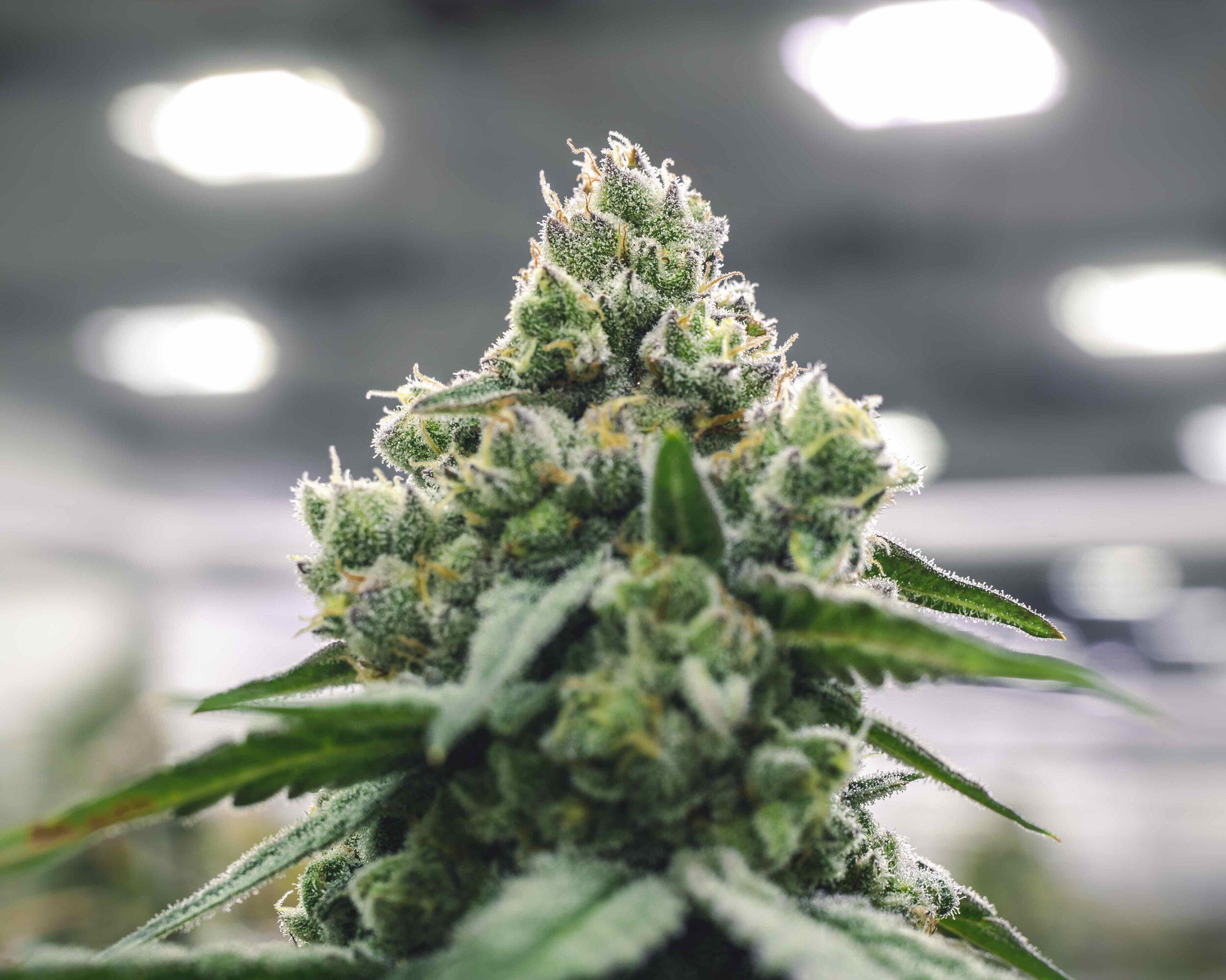 Commercial_Marijuana_Industry_Bud_on_Plant_at_Grow_Operation_Warehouse.jpeg