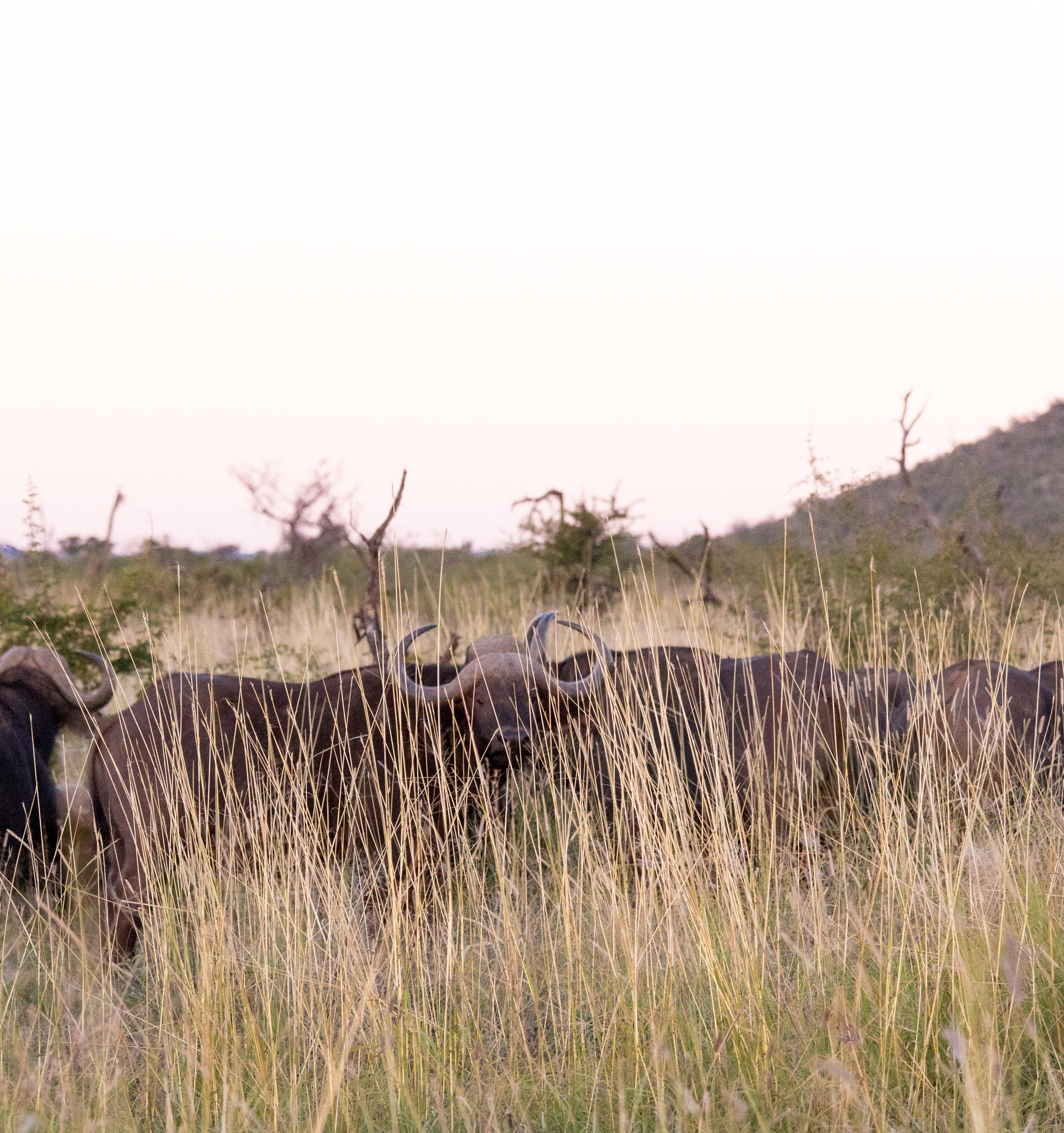 wikerts in wanderlust south africa buffalo