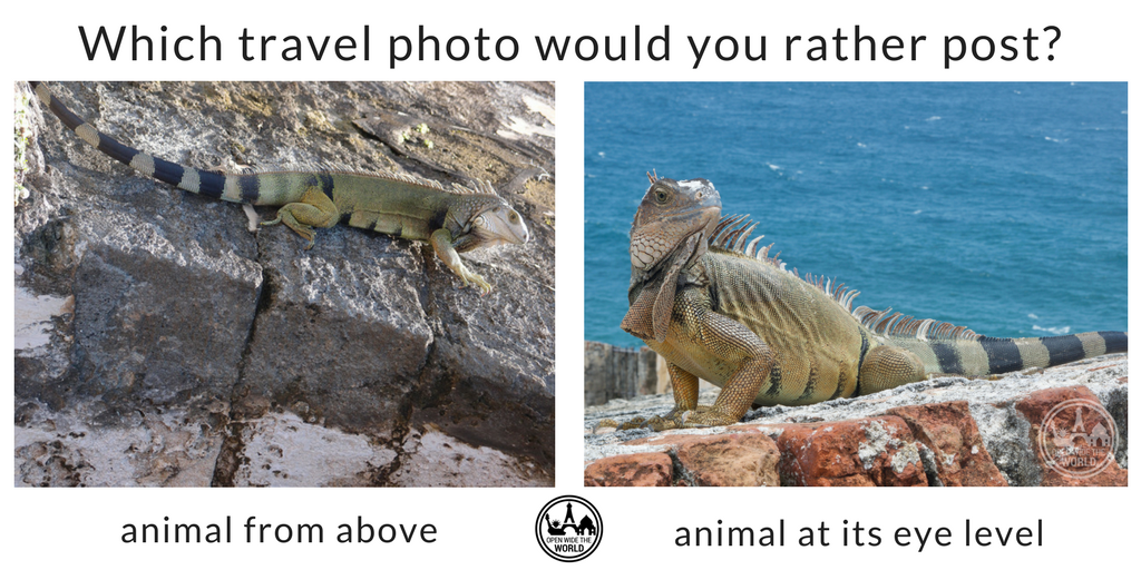 Iguanas are a big attraction on the ramparts of El Morro in San Juan, Puerto Rico. Photo on left attributed to  Mike  (flickr); photo on right is our own.