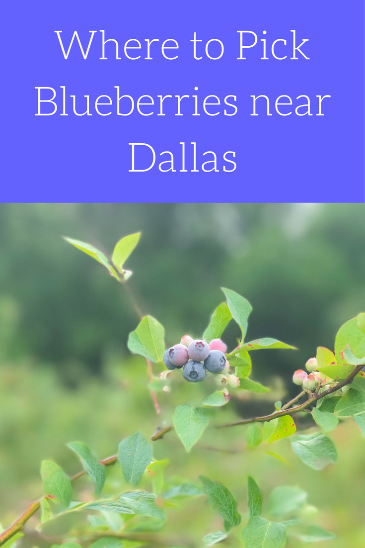 where to pick blueberries near dallas, blase family farm, u-pick farms near dfw, blueberry recipes
