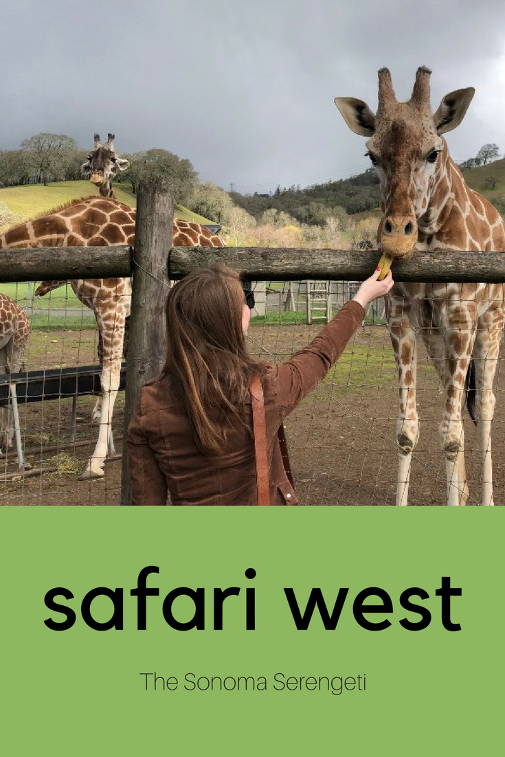 safari west, the sonoma serengeti, what to do in napa and sonoma, napa and sonoma travel guide, things to do in napa and sonoma besides drinking wine, exotic animal conservation in california, kendra scott diane earrings, blanknyc suede moto jacket, madewell jeans in danny wash, american eagle purrrty sunglasses, madewell central shirt in white