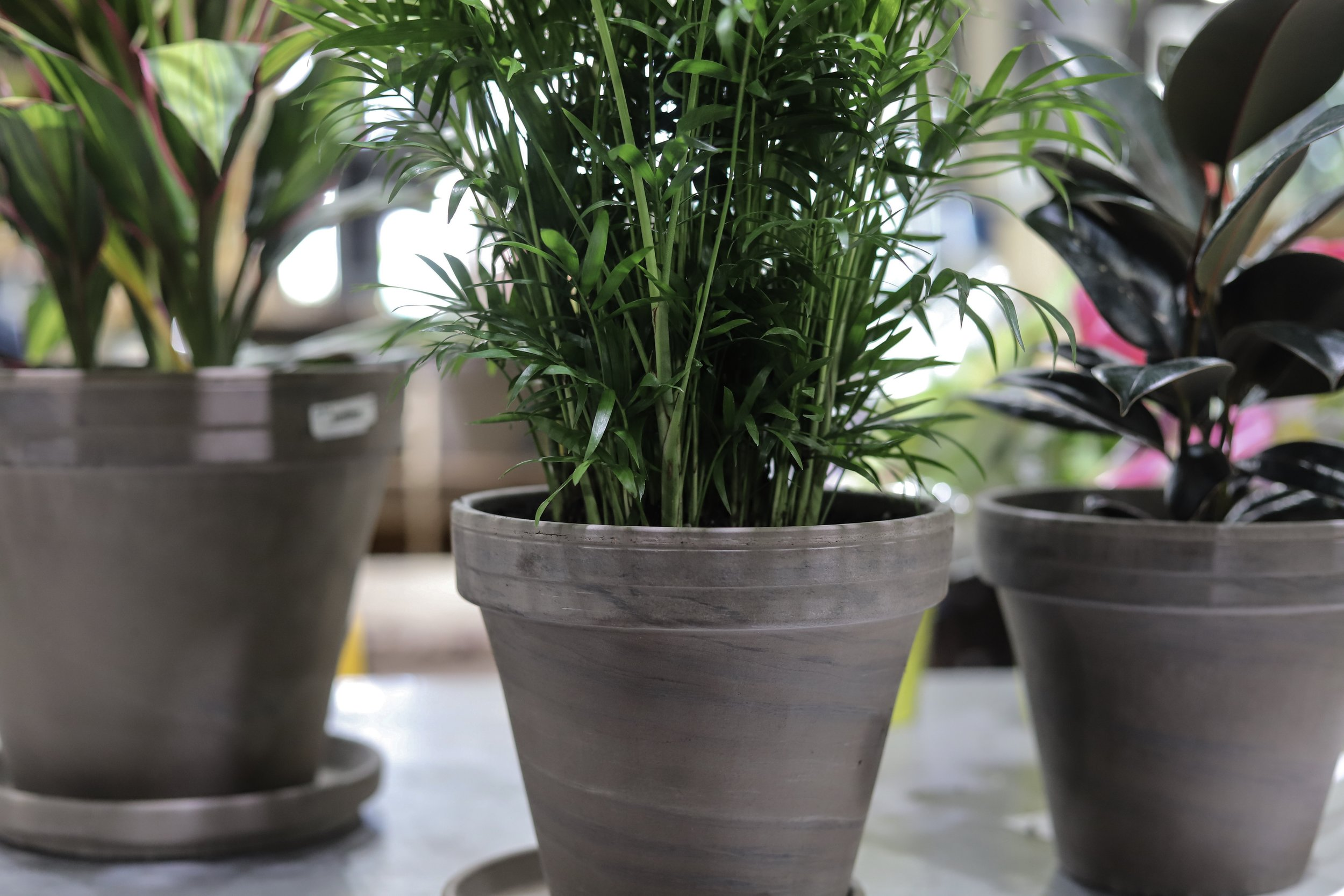 Household Plants and Flowers that aren't Toxic to your Pets, house plants, ruibals dallas, plants of texas, where to get plants in dallas, madewell jeans, safe plants, nontoxic