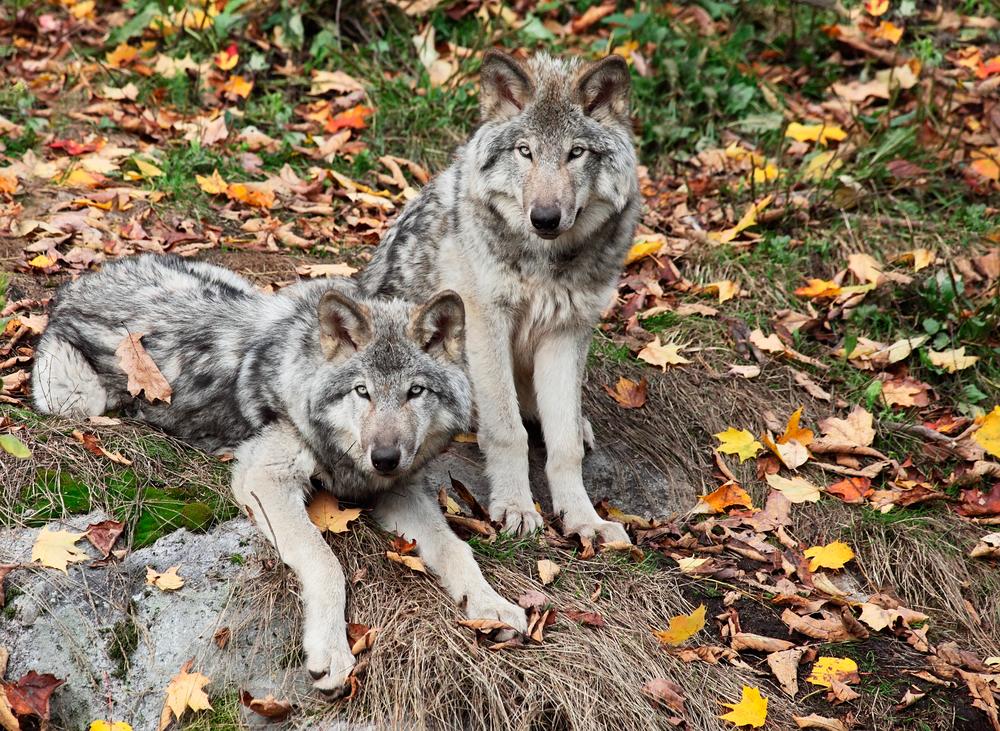 Colorado Wolf & Wildlife
