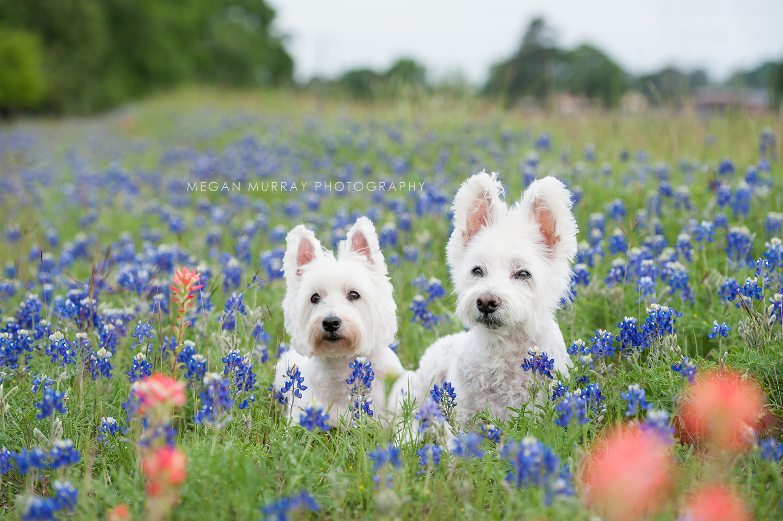 west highland terriers texas bluebonnets