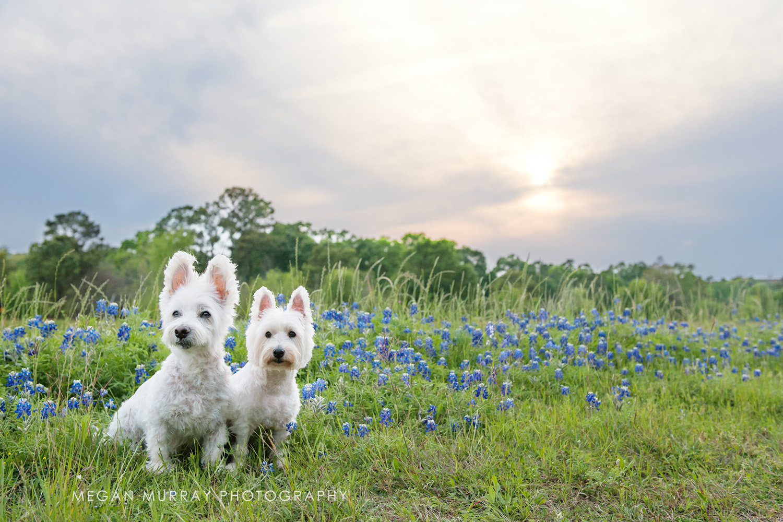 texas sunset bluebonnets dog