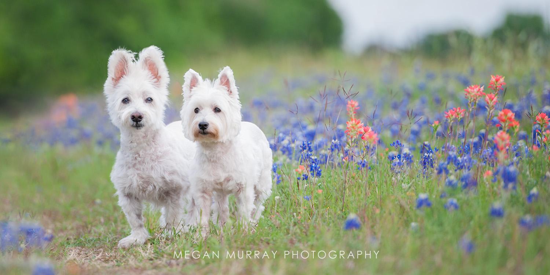 westies texas wildflowers bluebonnet
