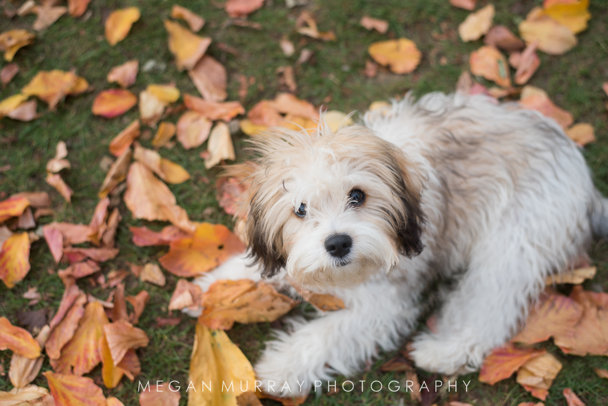 fluffy puppy playing in fall leaves