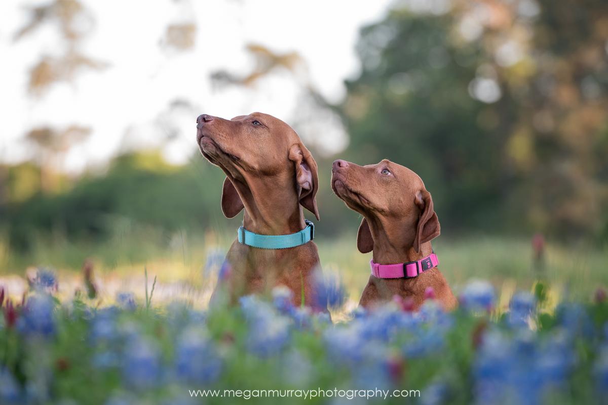 two dogs in bluebonnet field