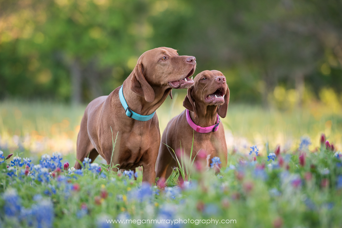 texas hunting dogs in field of flowers