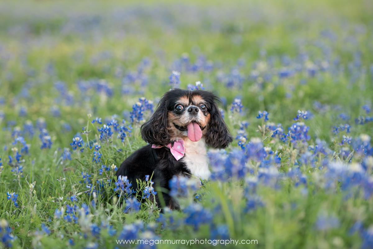 houston cavalier spaniel in bluebonnet field