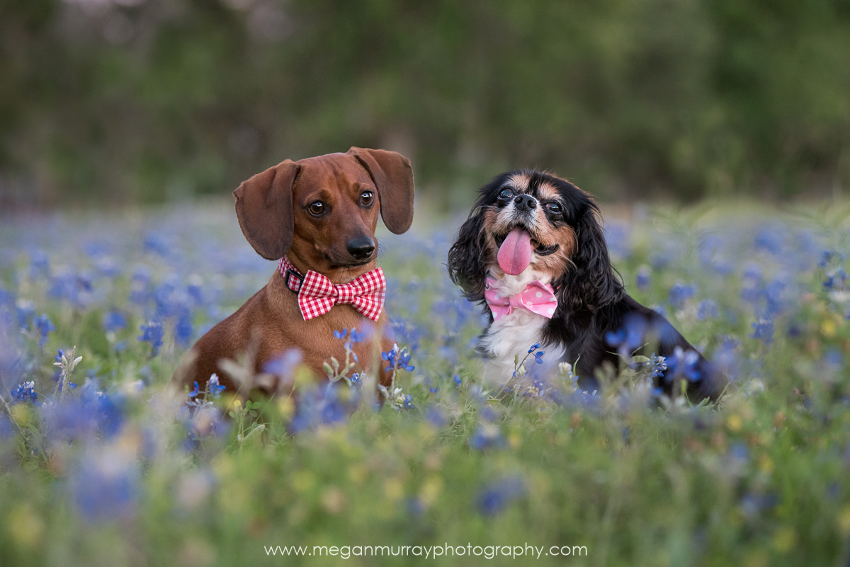 dogs in bowties in bluebonnets - houston pet photography