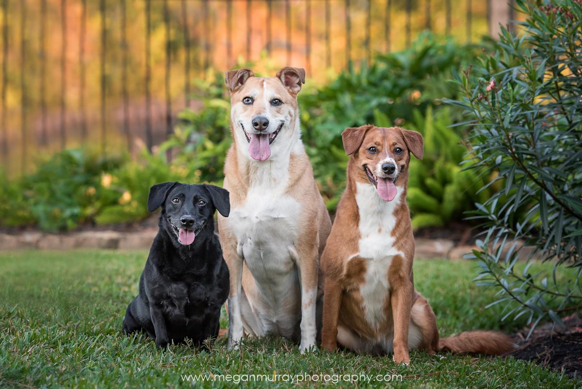 Roscoe, Daisy, & Rosie