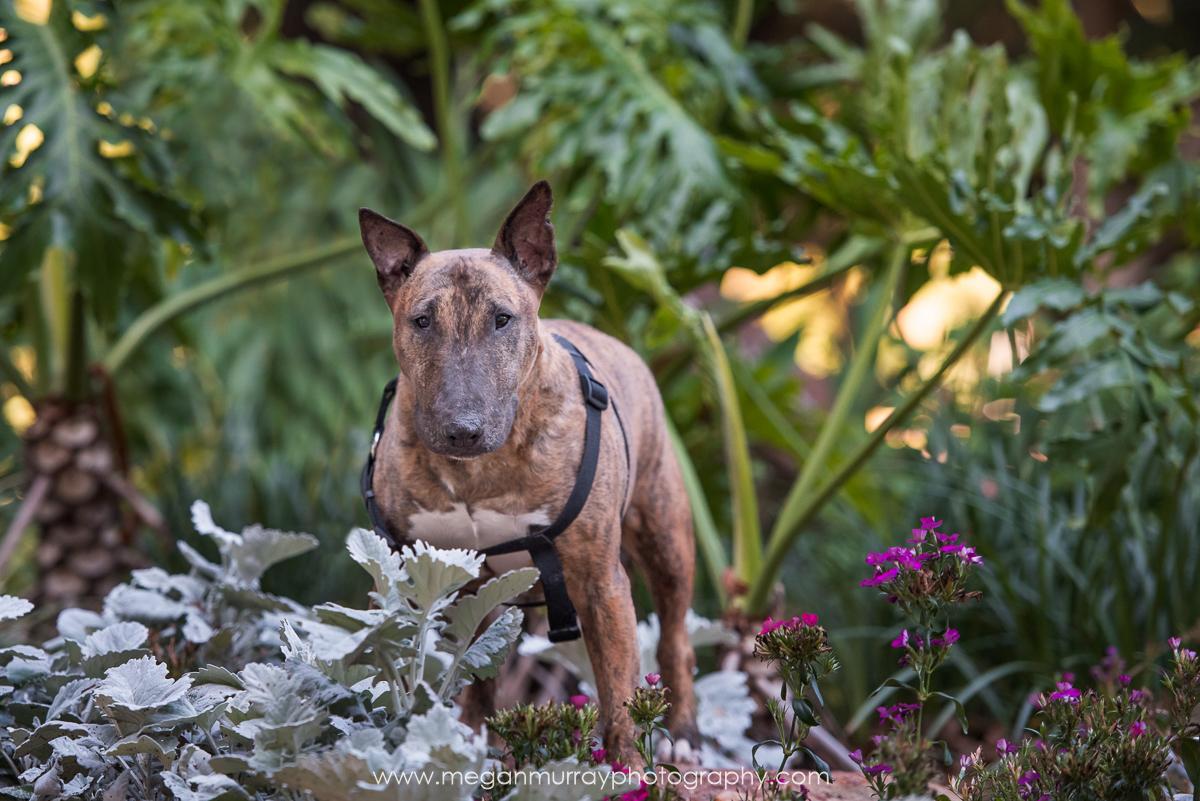 bull terrier in midtown houston