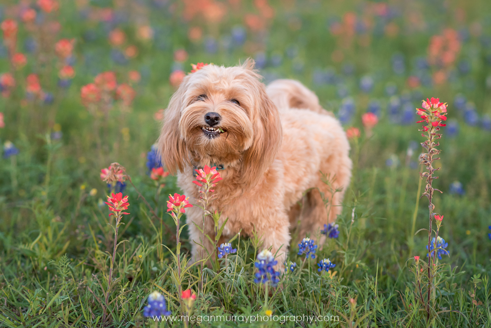 havanese dog smiling with texas bluebonnets and indian paintbrush