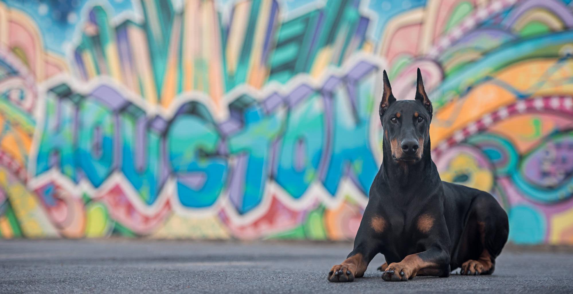 doberman by houston graffiti wall