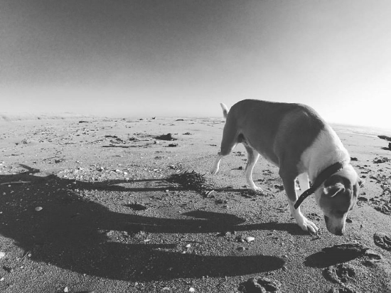 JC, my day one dog, beach lover and explorer.