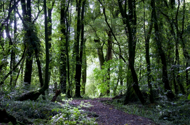 Into the woods of a native Kahikatea forest.
