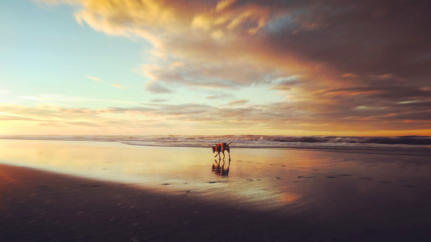 JC at our favourite beach doing what she loves most - exploring, sniffing driftwood and catching sunsets.