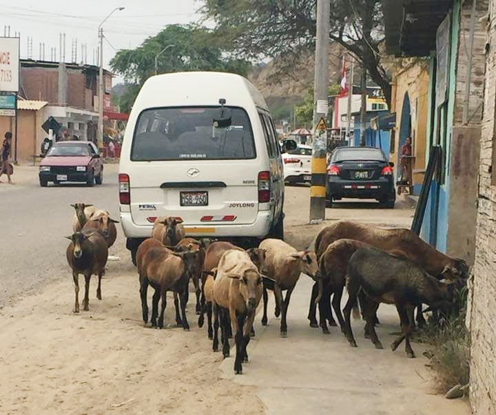 One of our trainers, Yola, took this photo on the main street in Zorritos. Not much surprises me anymore, seeing livestock on the street seems so normal here.