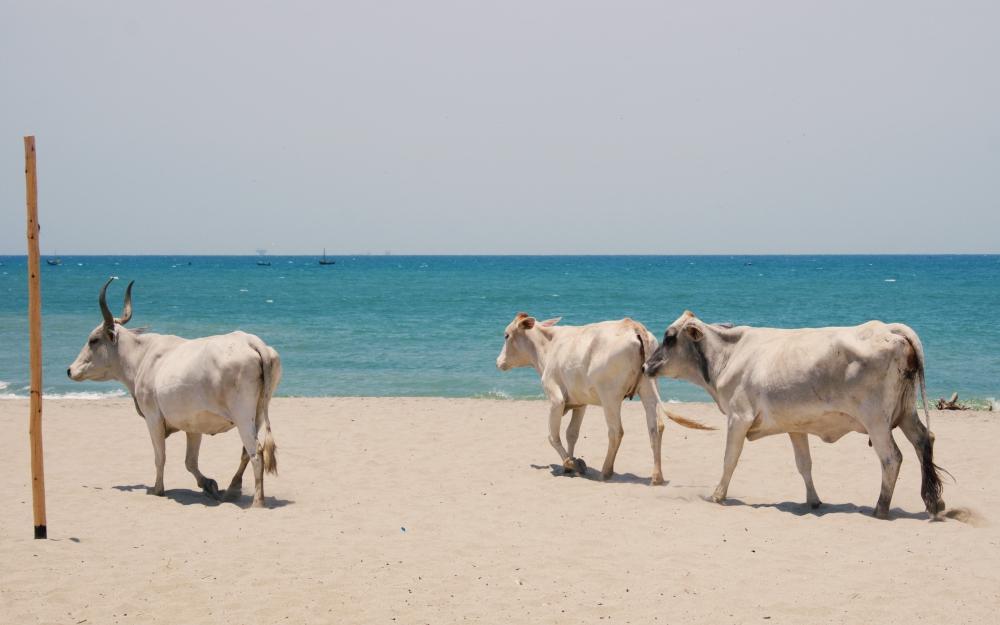 Local cows walking along the beach.