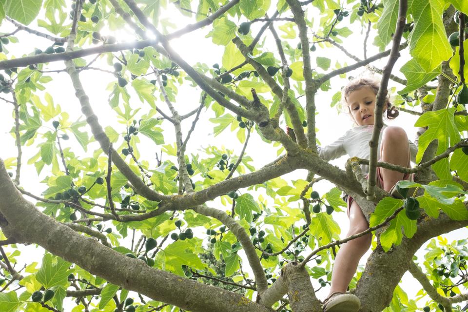 Fig trees | Simignano