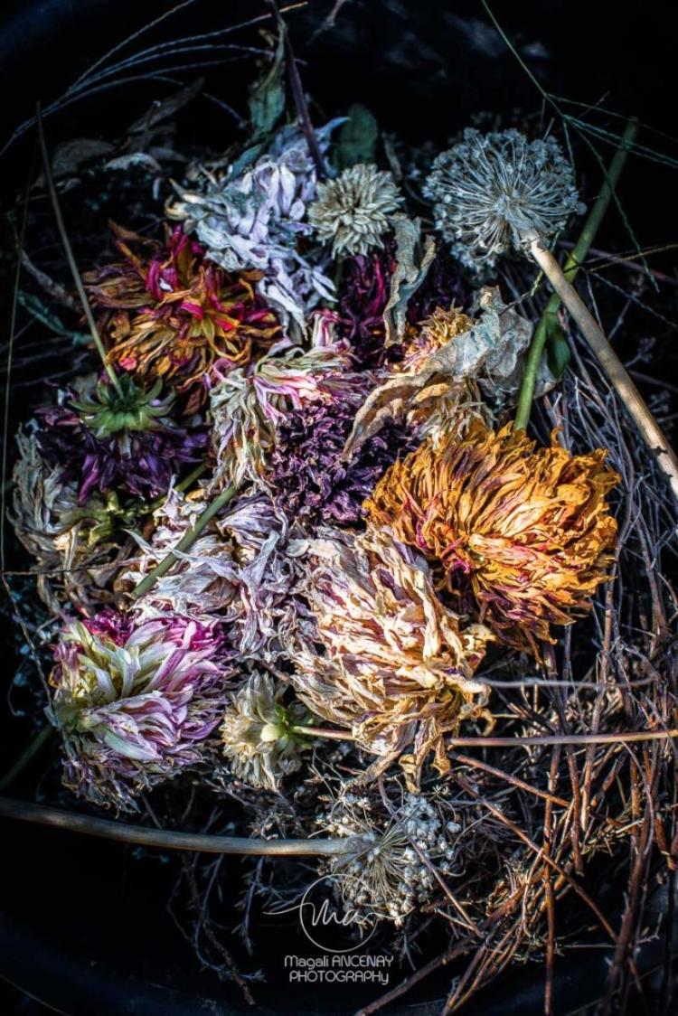 Dahlias-French-Cancan-Magali-ANCENAY-PHOTOGRAPHy-2-2.jpg
