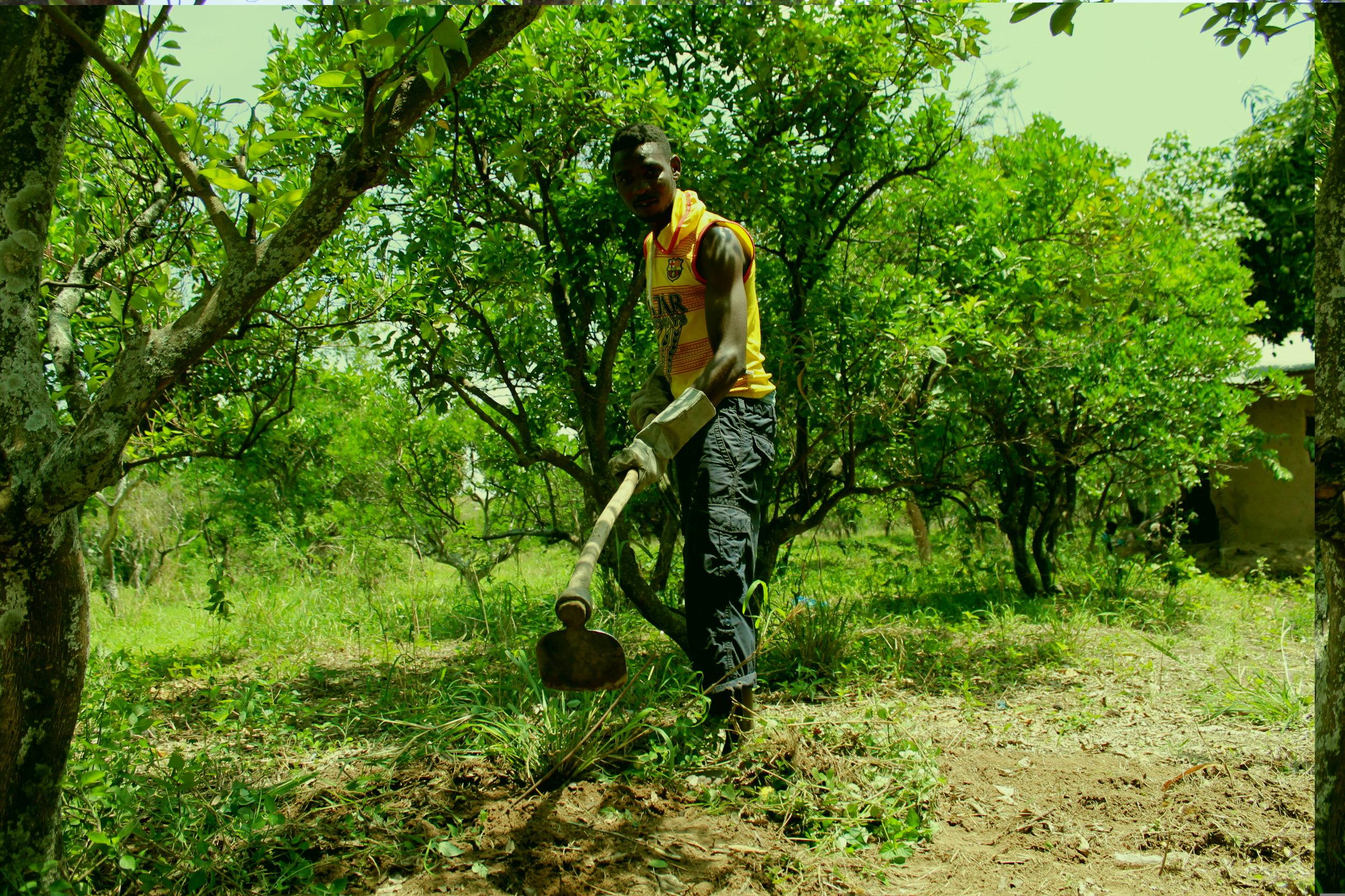 farmer tending orange trees.JPG