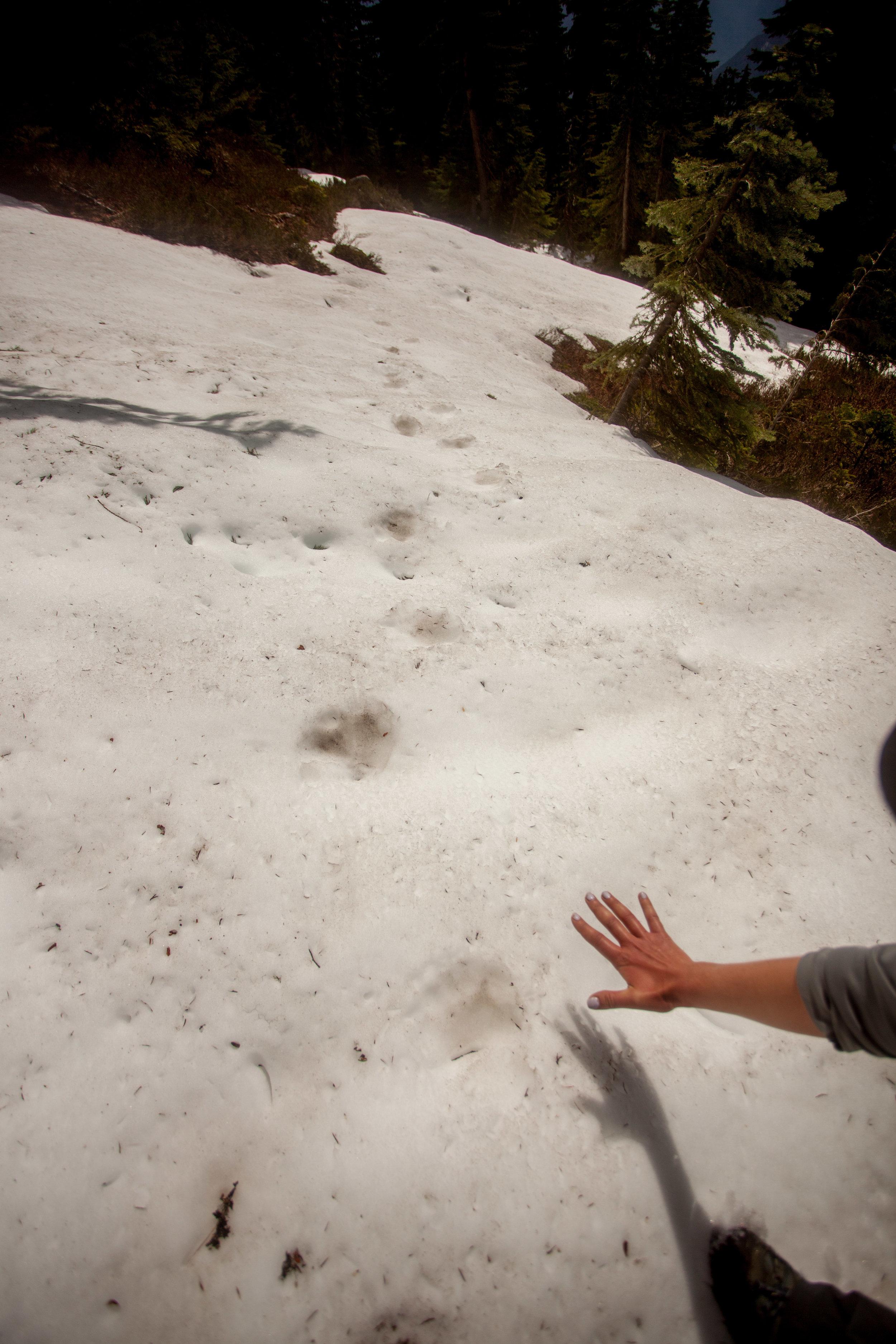 Bear Tracks?