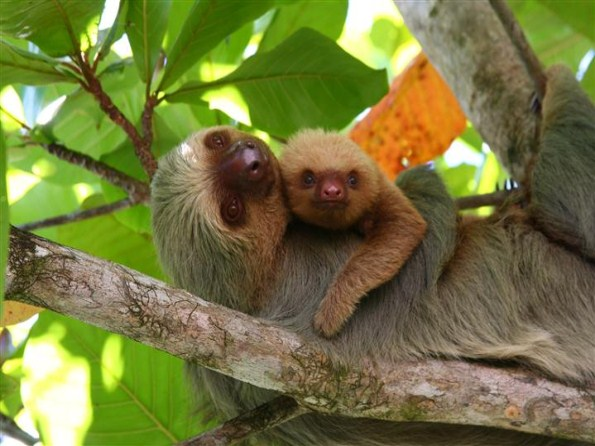 Sleepy sloths in the cloud forest