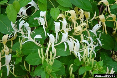 Japanese honeysuckle is mostly evergreen and has highly fragrant flowers that bloom from April-July.